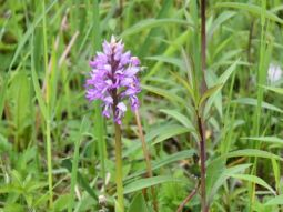 Sub-site 7 'FFH priority Ettling' - Measure C.16: Occurrence of military orchid (Orchis militaris) on the sowing area